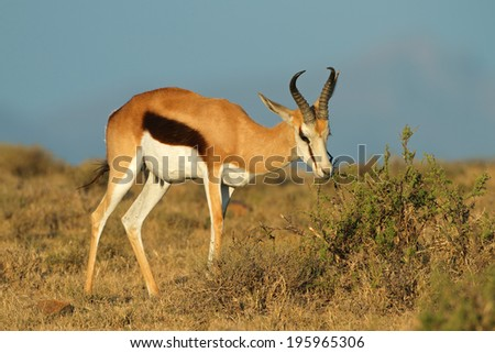 Springbok antelope (Antidorcas marsupialis) feeding on a bush, South Africa