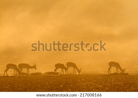 Springbok antelope (Antidorcas marsupialis) in dust at sunrise, Kalahari desert, South Africa - stock photo