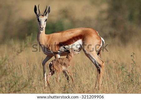 Springbok antelope (Antidorcas marsupialis) with newly born lamb, South Africa - stock photo