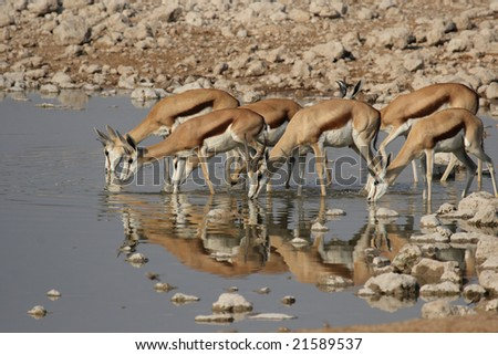 Springbok (Antidorcas marsupialis) at the waterhole in the Etosha National Park, Namibia
