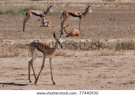 springbok gazelle in the kalahari desert in the Kgalagadi Transfrontier Park in South Africa - stock photo