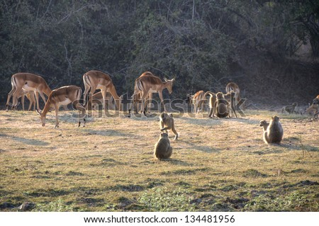 Springboks grazing in South Luangwa National Park, Zambia, Africa - stock photo