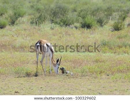 springbuck ((Antidorcas marsupialis) ewe with just born lamb. a newborn lamb investigates. Kgalagadi transfrontier park,south africa - stock photo
