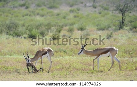 Springbuck (Antidorcus marsupialis). A ram inspects a ewe that has just given birth to her lamb - stock photo