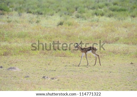 Springbuck (Antidorcus marsupialis). Newborn lamb taking first steps in the dry riverbed of the Nossob, Kgalagadi transfrontier park. - stock photo