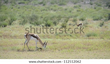 Springbuck (Antidorcus marsupialis) with new born lamb in the kalahari desert - stock photo