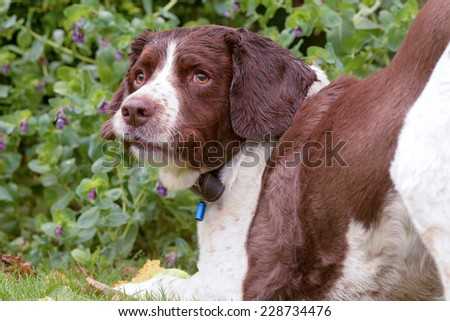 Springer Spaniel being silly - stock photo