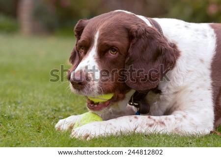 Springer Spaniel dog chewing two tennis balls - stock photo