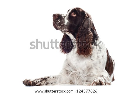 springer spaniel dog lying down - stock photo