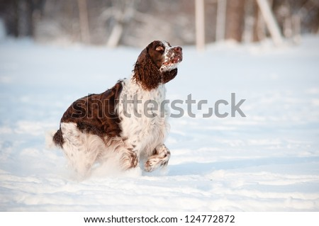 springer spaniel dog outdoors
