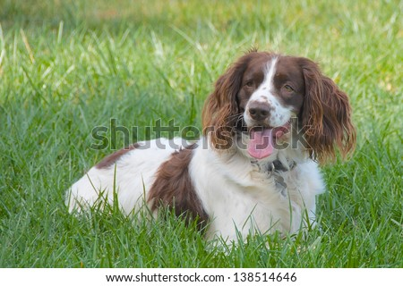 Springer spaniel dog resting in the grass with his tongue hanging out - stock photo