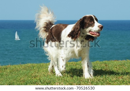 Springer Spaniel dog run on grass with see and blue sky on background - stock photo