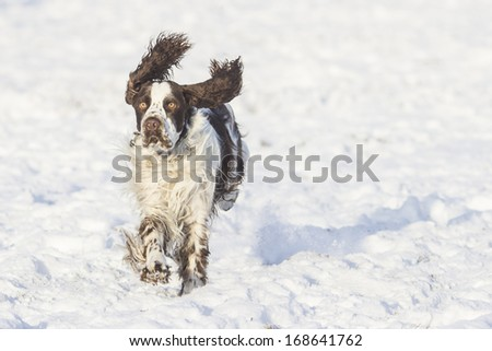 springer spaniel dog running and jumping outdoors - stock photo