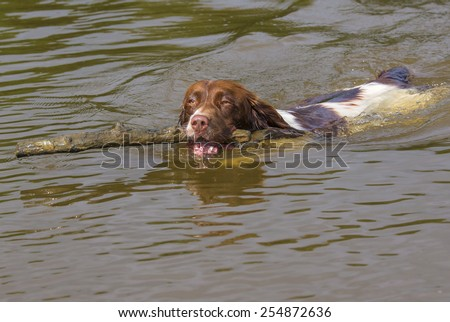 Springer Spaniel Dog Swimming and Fetching Stick - stock photo