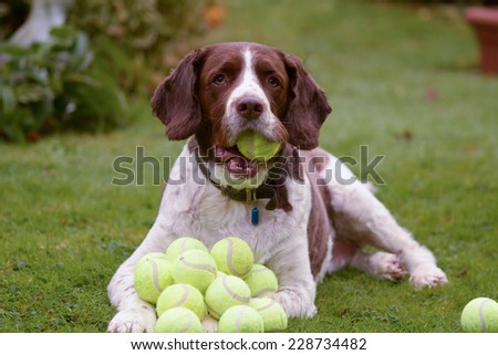 Springer Spaniel hoards tennis balls - stock photo