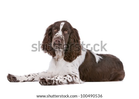 Springer Spaniel in front of a white background - stock photo