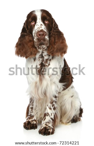 Springer Spaniel sits on a white background - stock photo