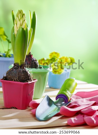 Springs hyacinths in pots - stock photo