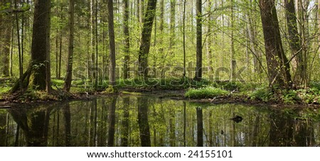 Springtime alder bog forest with small pond under shady canopy of stand - stock photo