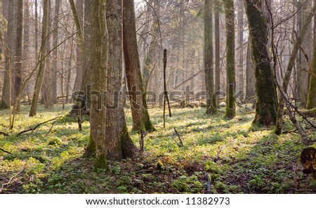 Springtime at old natural forest with fresh floral bed of anemone flower. - stock photo