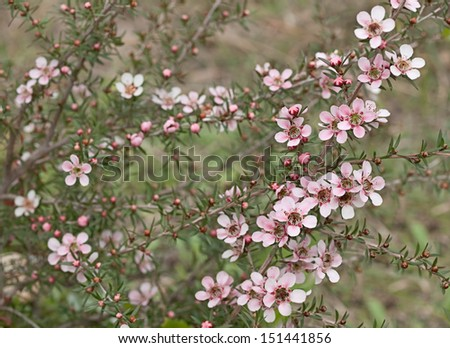 Springtime Australian tea tree wildflower Leptospernum Pink Cascade flower in spring - stock photo