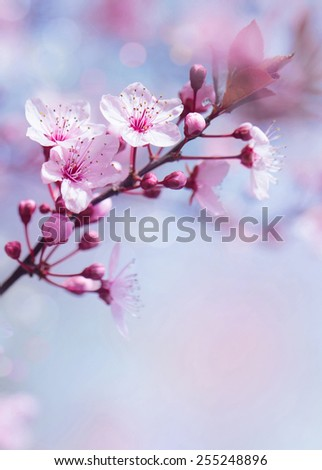 Springtime blooming tree background, gentle fresh cherry tree blossom, beautiful Japanese garden, beauty and tenderness of nature concept - stock photo