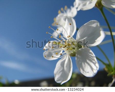 springtime. cherry blossom - stock photo