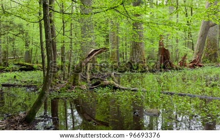 Springtime deciduous forest with standing water - stock photo
