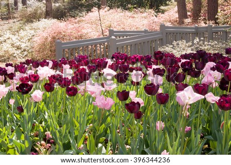 Springtime garden filled with tulip and azalea flowers. his image was taken at Callaway Gardens in Pine Mountain Georgia USA. selective focus on the tulips and the bridge. - stock photo