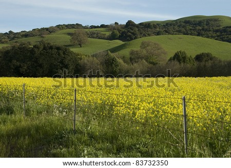 Springtime Hills and Mustard Field in West Contra Costa County, California