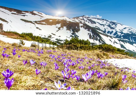 Springtime is the moment for this beautiful flower. Carpathian, Ukraine, Europe. Beauty world. - stock photo
