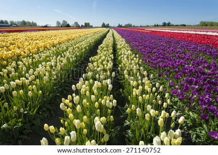 Springtime Tulip Fields. Vibrant fields of colorful tulips carpet the Skagit Valley during the annual springtime festival. This is a popular time for tourists to visit the area. - stock photo