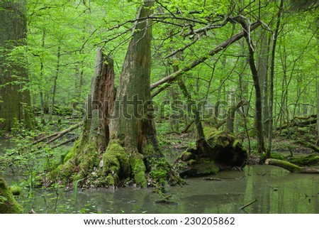 Springtime wet deciduous stand forest with standing water and dead trees partly declined lying under - stock photo