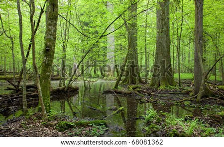 Springtime wet deciduous stand forest with standing water and dead trees partly declined lying under