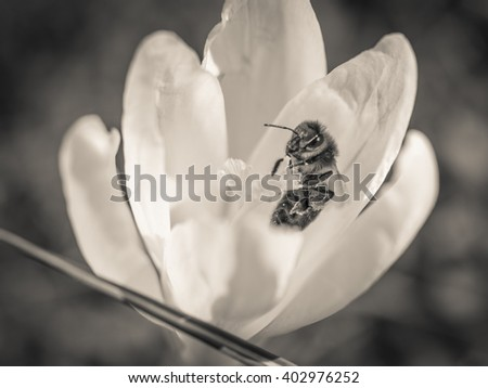 Springtime with crocus and bee in black and white - stock photo