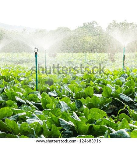 sprinkler irrigation in cauliflower field - stock photo