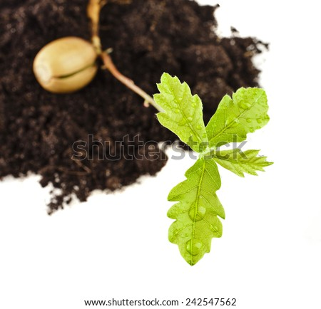 Sprout a young oak tree on white background - stock photo