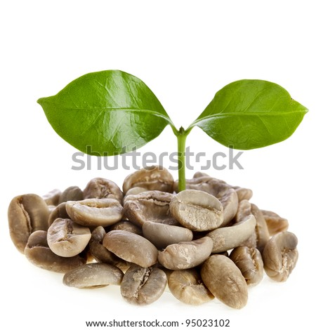sprout  coffee tree with coffee beans , on white background - stock photo