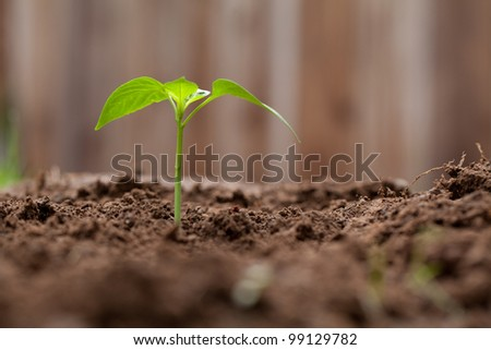 Sprout Growing out of dirt in a garden