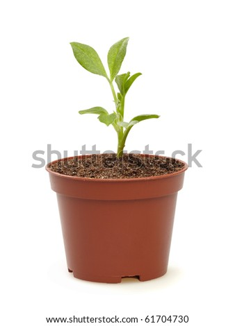 Sprout in a pot, isolated on the white background,  clipping path included.