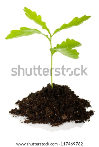 sprout oak tree isolated on white background - stock photo