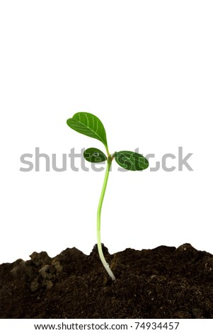 Sprout of a plant with three leaves isolated on a white background - stock photo