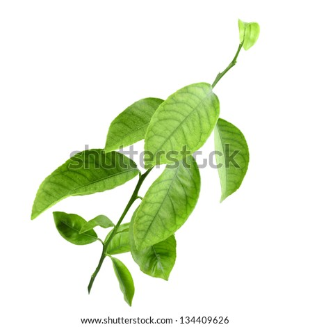 Sprout of citrus tree with green leaf. Isolated on white background. Close-up. Studio photography. - stock photo