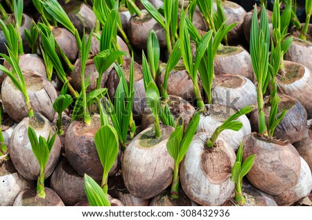 Sprout of coconut in Thailand - stock photo