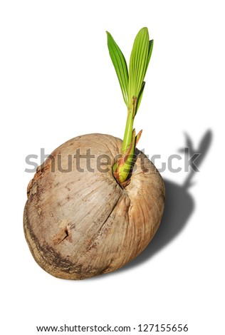 Sprout of coconut tree on white background.
