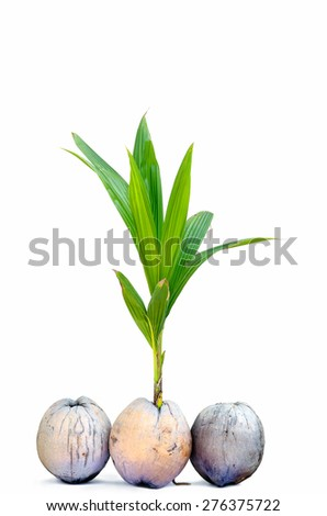 sprout of coconut tree on white background