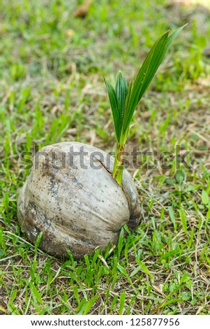 Sprout of coconut tree,Thailand
