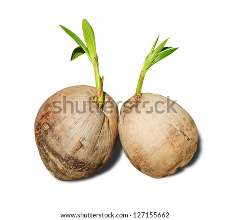 Sprout of coconut trees on white background.