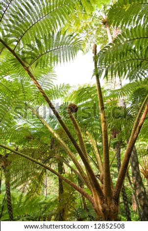 Sprout of tree fern