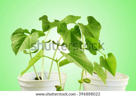 sprouted growing small beans plant sprouts in glass - stock photo